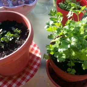 Oregano and cilantro.